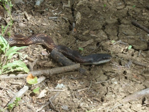 rat snake?