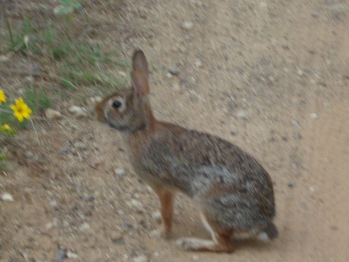 bunny close up; he let me get really close before hopping off