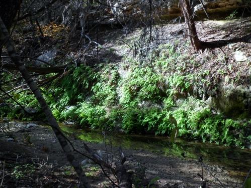 ferns along the creek