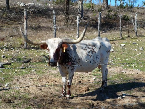 longhorn with the bloody eye