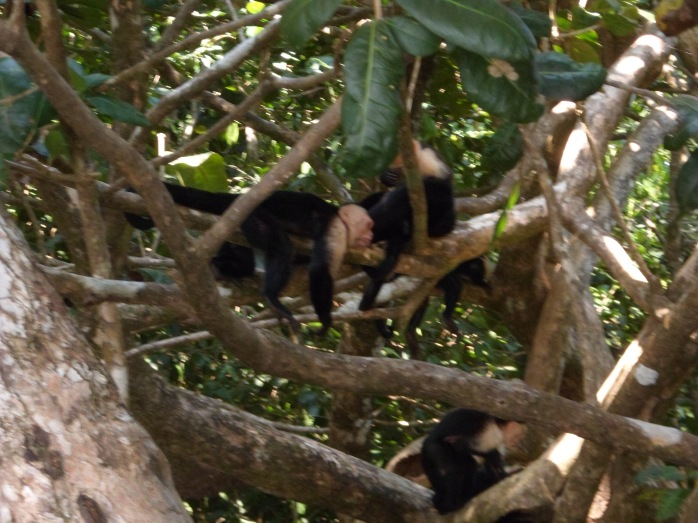 Capuchins hanging out