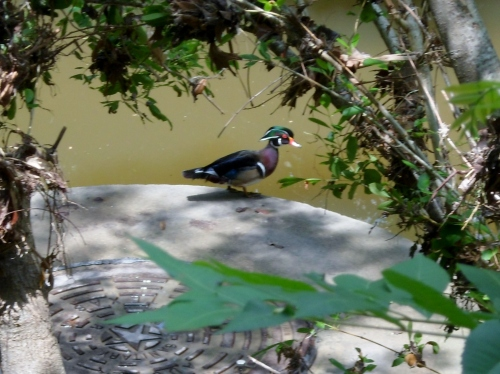 pretty duck.  there was a turtle next to him also, but he made for the depths as I brought out the camera