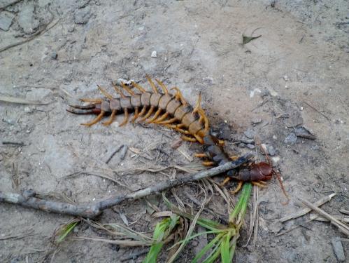 holy crap, Texas Redheaded Centipede
