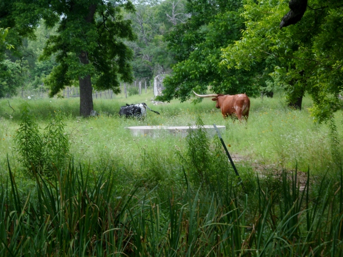 Longhorn on private land bordering the trail